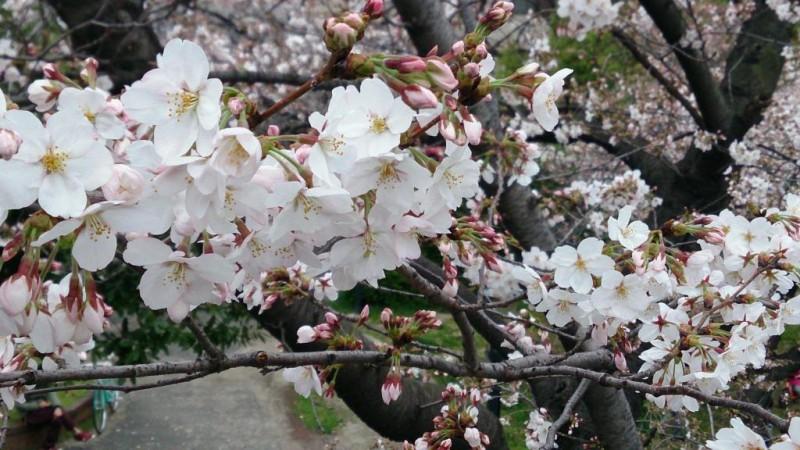 桜便り Vol.2 大阪 桜ノ宮