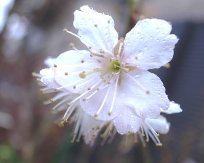 桜便り Vol.1